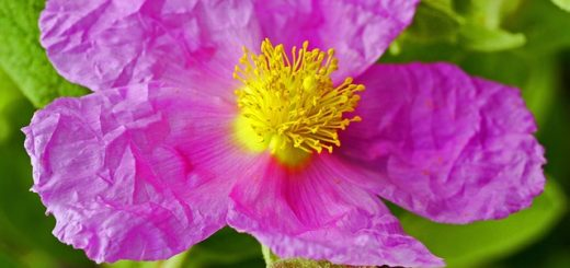 Zistrose Blüte