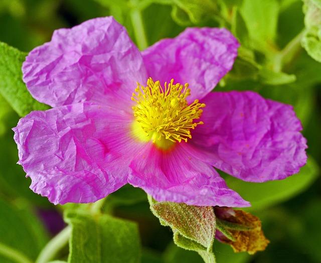 Zistrose Blüte - Welches sind die Heilwirkungen von Cistus Incanus?