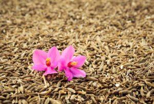 Kreuzkümmel 300x203 - Kreuzkümmel Samen