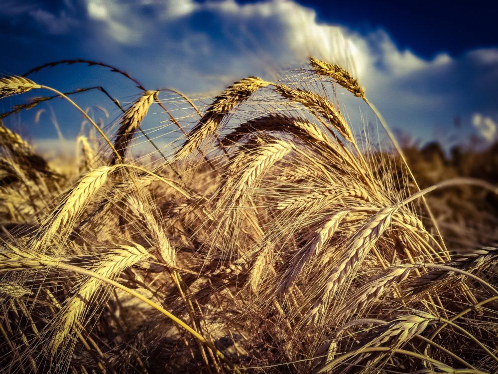 bread cereal crop 461344 scaled - Hypo- und Desensibilisierung: Linderung für Pollenallergiker?