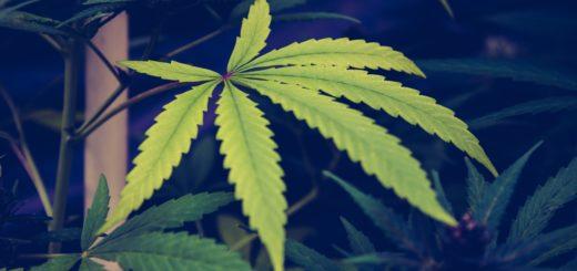 gesundeszentrum hanfpflanzen heilung 520x245 - Heilung aus der Hanfpflanze – Cannabinoide und ihre Wirkweise
